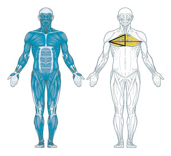 Brustmuskeln Mann Reaction Marker